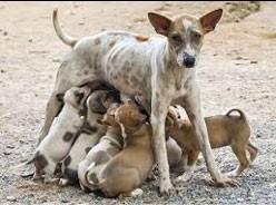 Mother Dog nursing her puppies